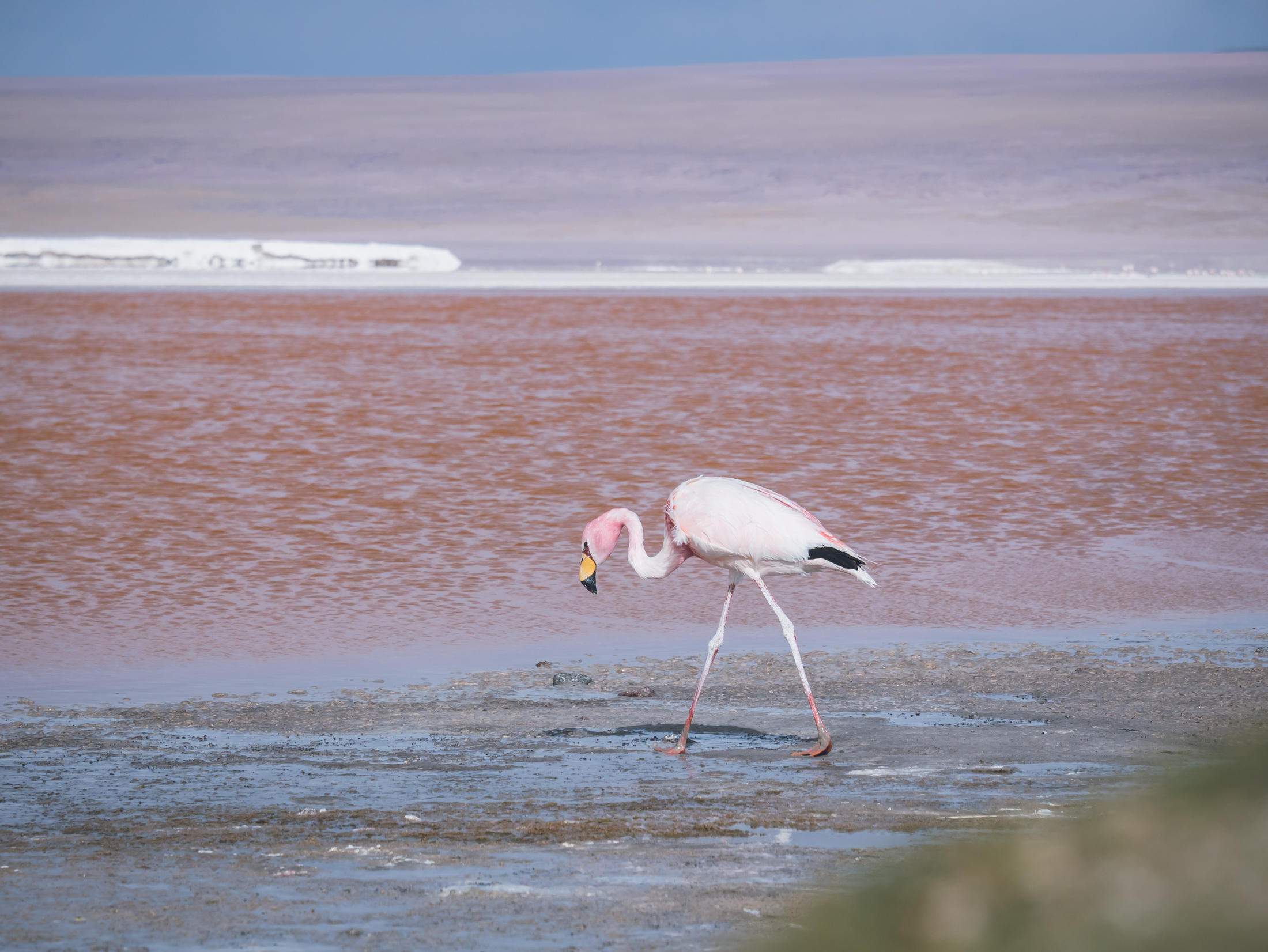 flamand rose lagune bolivie